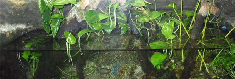Biotope labyrinthfish for Labyrinth fish tank