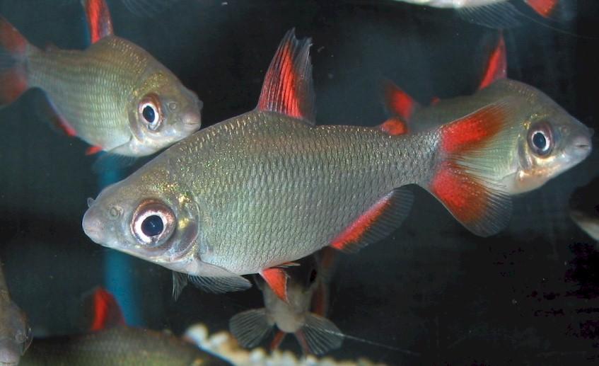 Chanda ranga: Distichodus Affinis