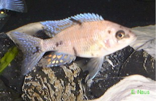 Another Aulonocara breeding form