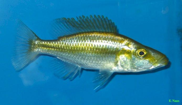 ... ) ?????? Dimidiochromis compressiceps / Malawi Eyebiter
