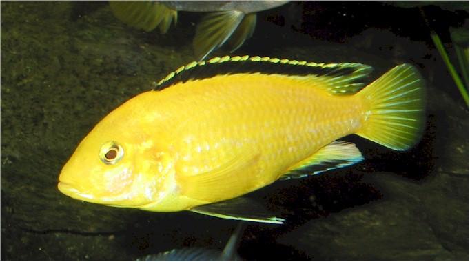 http://aquaworld.netfirms.com/Cichlidae/Labidochromis_caeruleus.jpg
