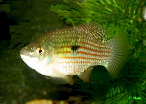 jordanella floridae n 19 american flag fish florida flag fish origin ...