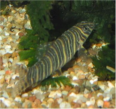 Ichthyophtirius ick ichthyo for Fish disease ick