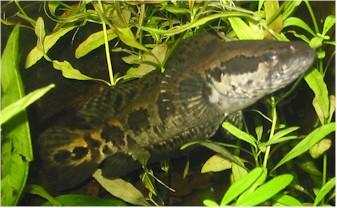 Картинки по запросу Parophiocephalus obscurus