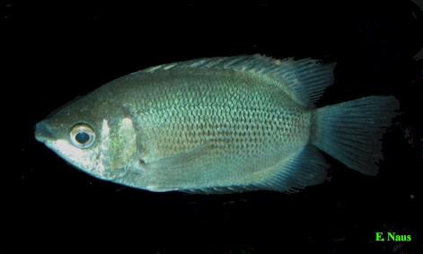 Helostoma temminckii Ikan Tambakan