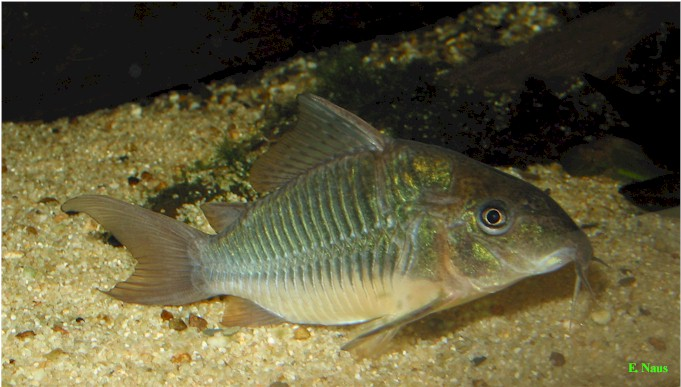 Emerald Catfish : Barbus Arulius: Brochis