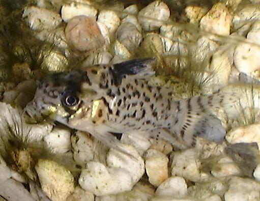 corydoras leucomelas eigenmann allen 1942 false spotted catfish origin ...